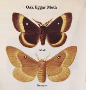 oak-eggar-moth