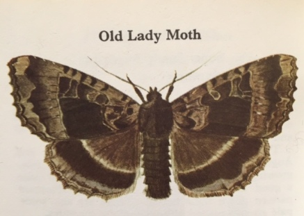 old-lady-moth